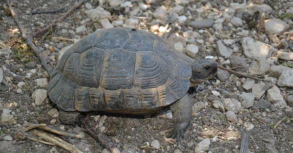 Kaplumbağalar